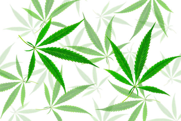 Green cannabis leaves with five fingers, marijuana on white back