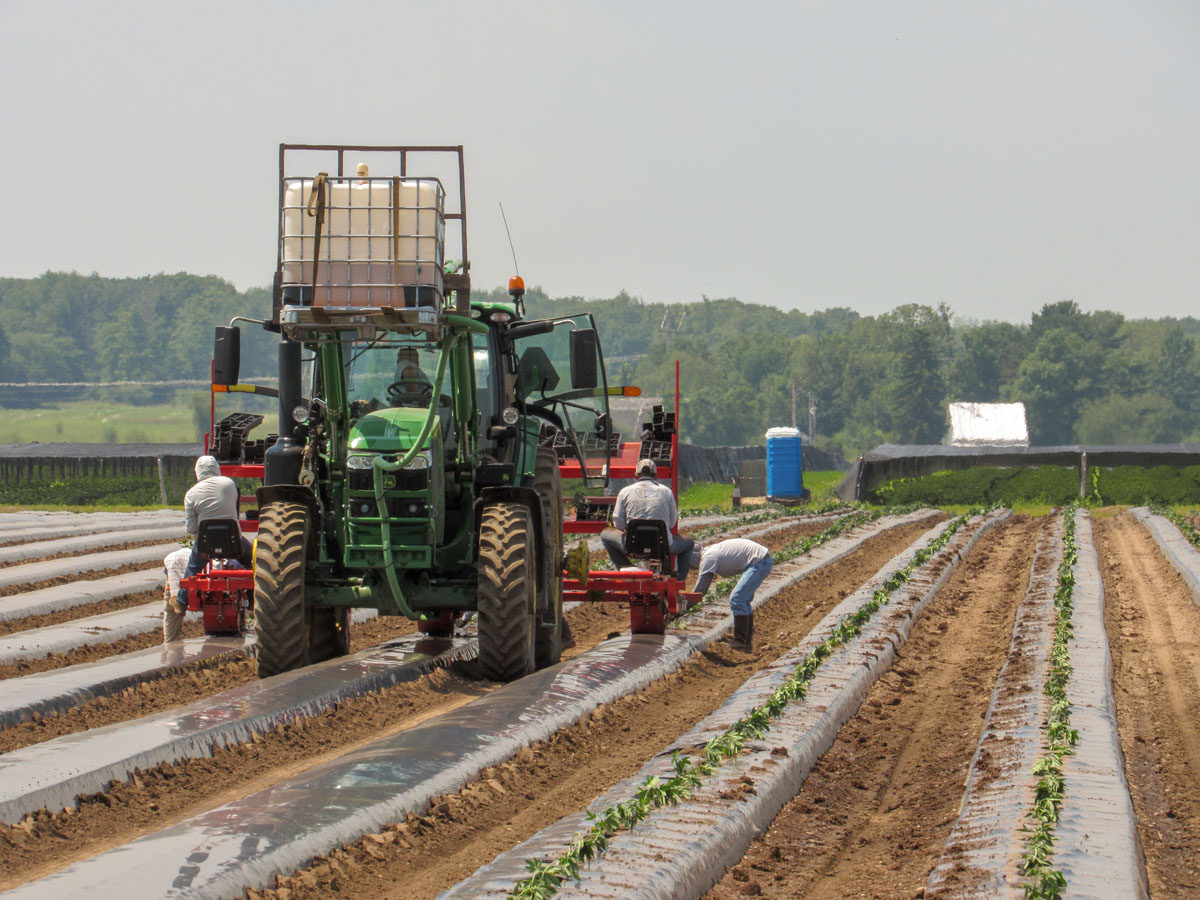 tractor and people planting cannabis on a large fa PUK34HH