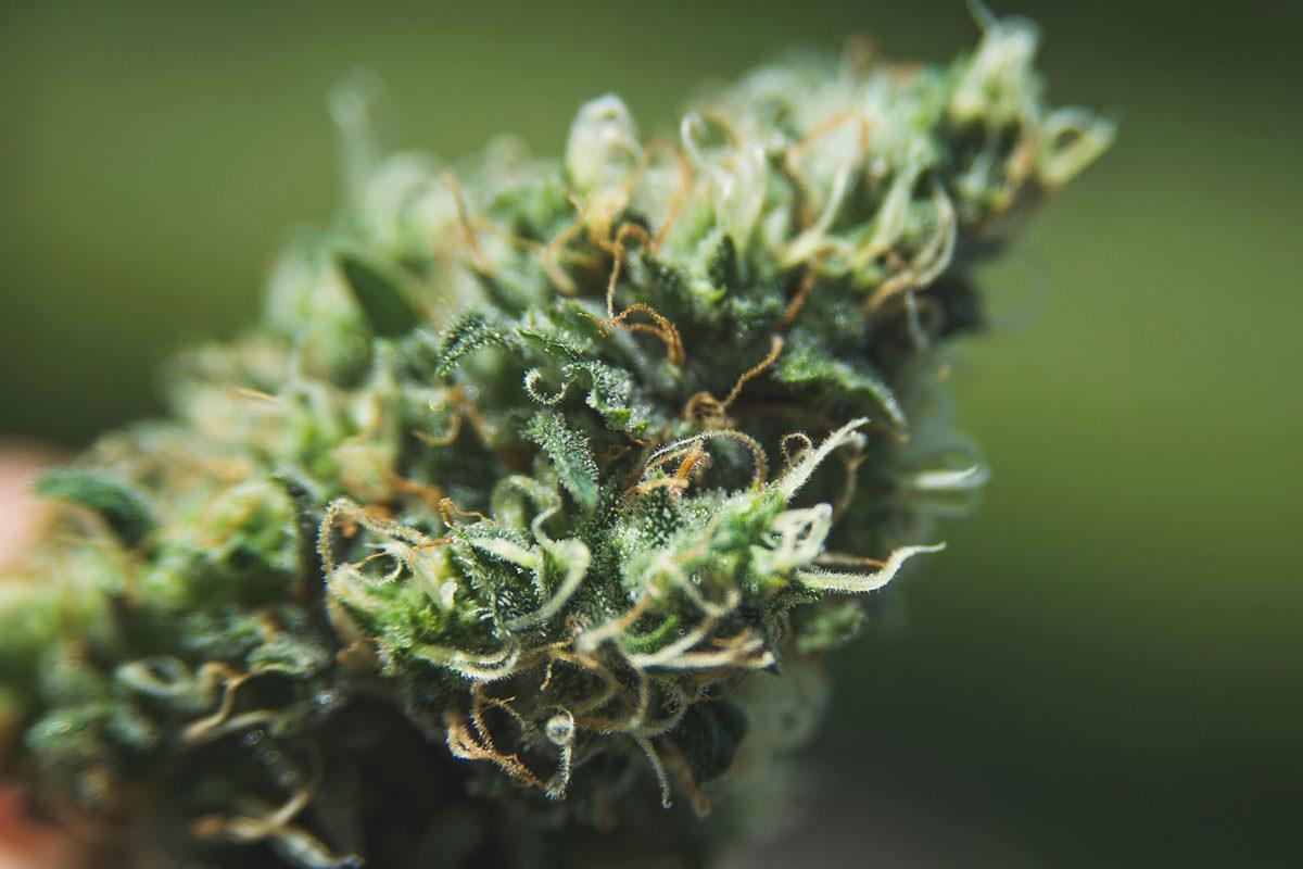 consumo regular de marihuana